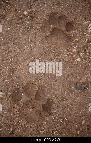 African Lion Panthera leo paw prints in sand and mud - Stock Image