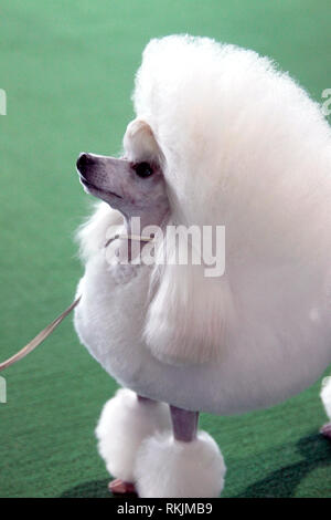 New York, United States. 11th Feb, 2019. Westminster Dog Show - New York City, 11 February, 2019: A Toy Poodle awaits judging during the Best of Breed Competition at the 143rd Annual Westminster Dog Show in New York City. Credit: Adam Stoltman/Alamy Live News - Stock Image