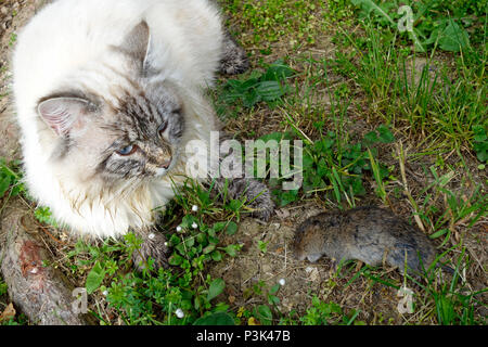A cat with a vole prey. - Stock Image