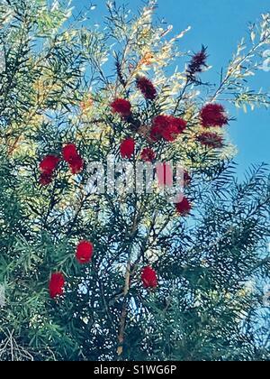 Red bottlebrush flowers tree - Stock Image