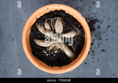 Planting Dahlia tubers in a teracotta pot. - Stock Image