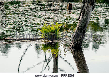 Dead trees in lake. Green weeds. - Stock Image