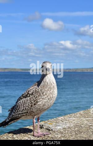 Gulls at St Ives - Stock Image