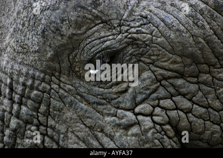 An old elephant called People s Friend visiting a village in Mole National Park Northern Ghana - Stock Image