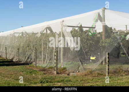 An apple orchard protected by anti bird netting to stop birds damaging fruit trees in Havelock North New Zealand - Stock Image