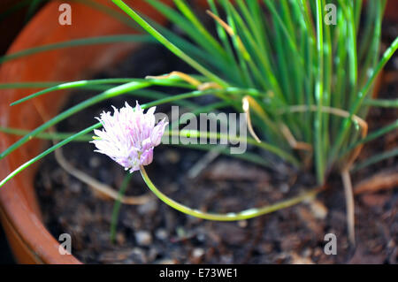 Blooming chives - Stock Image
