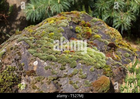 Multi-colored mosses on a rock at the Oregon Garden in Silverton, Oregon, USA. - Stock Image