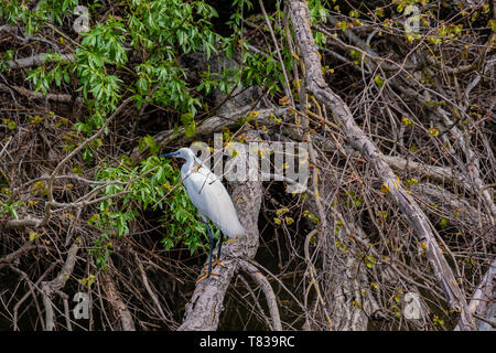 The Little Egret (Egretta garzetta) keeps the eggs in its nest in one of the Danube Delta Biosphere Reserve, Romania. The delta has the widest variety - Stock Image