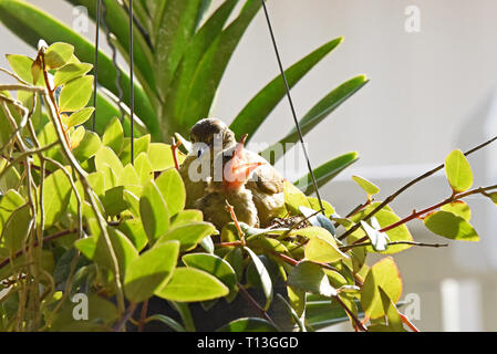 A Streak-eared Bulbul (Pycnonotus blandfordi conradi) with it's chick about to fledge in a garden in Eastern Bangkok - Stock Image