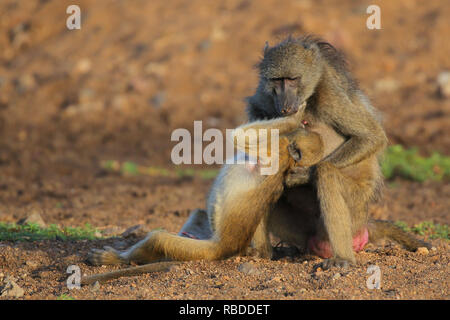 THIS CHEEKY monkey is risking the wrath of his mum after giving her a huge nipple twister. The amusing pictures show the juvenile Chacma baboon pulling the adult's nipple far from its chest and giving it a big twist. Other funny photographs show the baby baboon cuddling up to his mother as he appears to beg for forgiveness and then getting up to more mischief as he tries to hop onto her back. The side-splitting images were captured at the Shingwedzi riverbed in Kruger National Park, South Africa by production manager John Mullineux (34) from Secunda, South Africa. Mediadrumimages / John Mullin - Stock Image