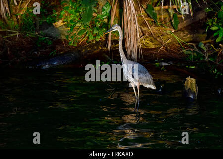 Great Blue Heron is waiting for the sunrise at the lakeshore. - Stock Image