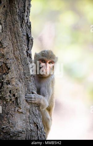 Adult wild Rhesus macaque, Macaca mulatta, climbing a tree, Bandhavgarh National Park, Madhya Pradesh, India - Stock Image