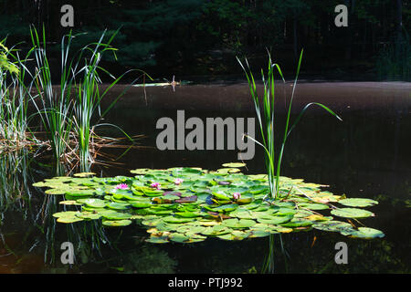 Nenuphars in a pond, Maine, USA. - Stock Image