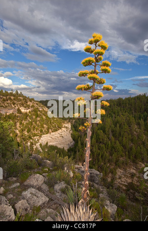 Parry Agave blooming on rim of Walnut Canyon, east of Fisher Point, Coconino National Forest, Flagstaff, Arizona - Stock Image