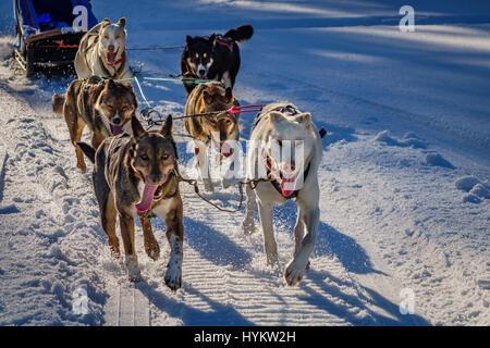Husky sled dogs, Lapland, Sweden - Stock Image