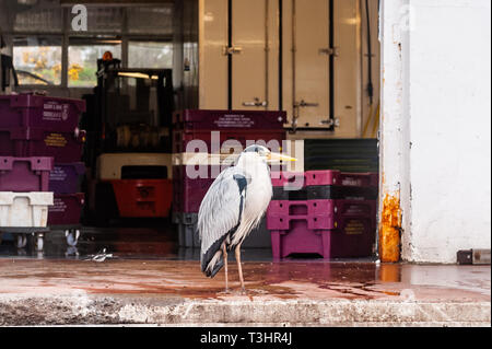 Grey Heron (Ardea Cinerea) waits for a meal at the fish factory in Schull, West Cork, Ireland. - Stock Image