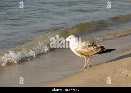 One seagull. This seagull was observed on the sandy beach by the Baltic sea in Kolobrzeg, Poland. - Stock Image