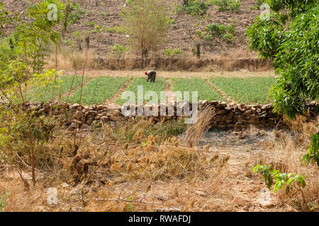 A farmer tends a green field amid dry scrub in a village near Bobo-Dioulasso in the west of Burkina Faso, a Sahel country affected by climate change - Stock Image