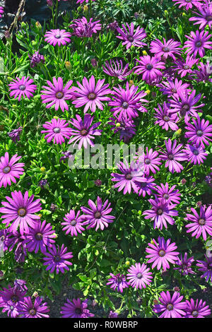 Close up of a flower border with colouful flowering Osteospermum African Daisy - Stock Image