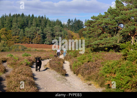 black labrador dog bounds ahead of  its owners on a trail over heathland in the New Forest - Stock Image
