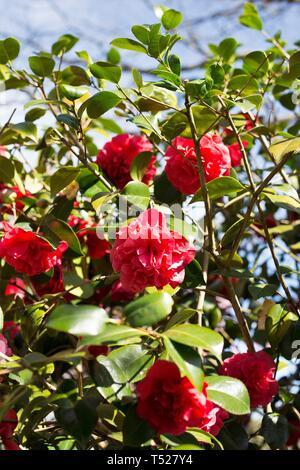 Kramer's Supreme Camellia flowers at the Oregon Garden in Silverton, Oregon, USA. - Stock Image