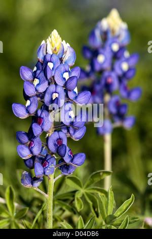 Texas State Flower - BlueBonnet - Stock Image