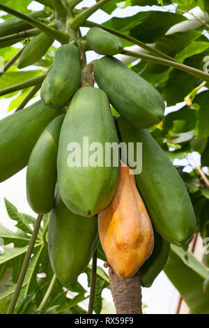 Tree-melon, Botanical garden, Additional-Rights-Clearance-Info-Not-Available - Stock Image