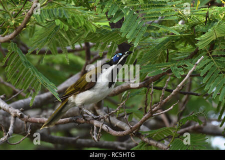 An Australian, Queensland Blue-faced Honeyeater ( Entomyzon cyanosis ) peering through branches and leaves looking for food - Stock Image