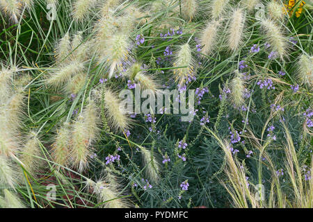 Garden flower border with ornamental grass Pennisetum villosum - Stock Image