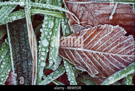 Hoar frost on Beech leaves and grass abstract. Tipperary, Ireland - Stock Image