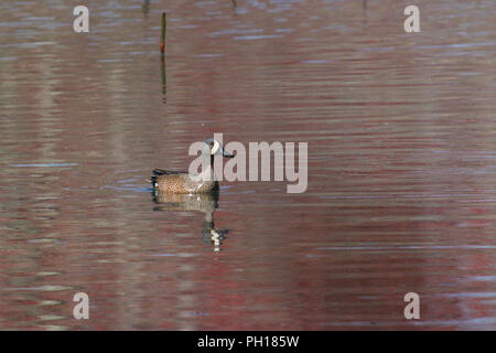 A drake blue-winged teal pm water/ - Stock Image