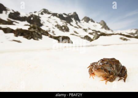 Common frog (Rana temporaria) pair moving in amplexus to alipne breeding pond, French Alps, France, May. - Stock Image