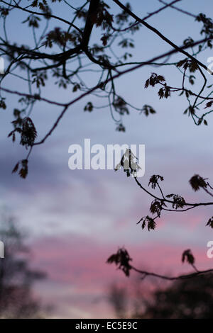sunset with branches - Stock Image
