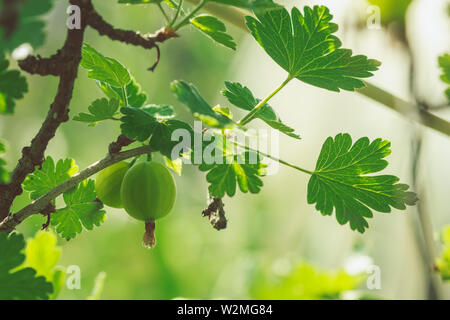Ripe large gooseberry green on a branch of a bush - Stock Image