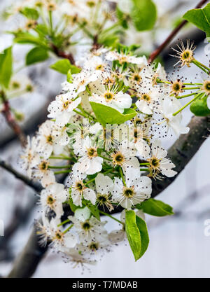 Asian Pear Tree in full springtime bloom; central Colorado; USA - Stock Image