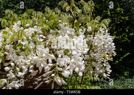 White Wisterria Sinensis Blanca growing up the side of a garden potting shed. - Stock Image