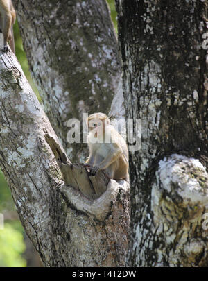 makake monkey in the small village of habarana in the cultural triangle of sri lanka - Stock Image