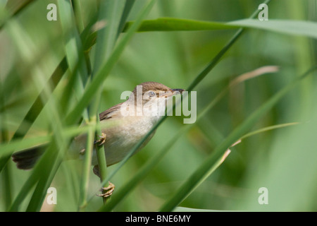 Reed warbler, Acrocephalus scirpaceus. - Stock Image
