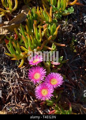 Carpobrotus Acinaciformis. La Concepción botanical garden. Málaga, Andalusia, Spain. - Stock Image