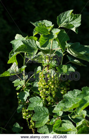 Leaves and fruits form on the stem of a Johannisbeere (Ribes rubrum, red currant) plant in spring. - Stock Image