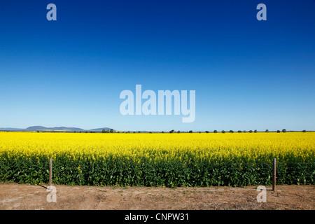 Canola crops. Eyre Peninsula. South Australia. - Stock Image