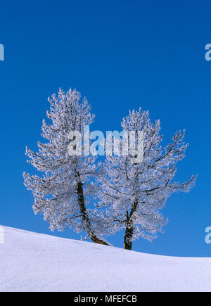 FROSTED TREES in midwinter Hayden Valley, Yellowstone National Park, USA. - Stock Image