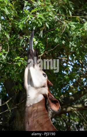 Okapi, Okapia johnstoni, also known as the Forest or Congolese Giraffe or Zebra Giraffe, using tongue to reach leaves, individual held captive, ZSL - Stock Image