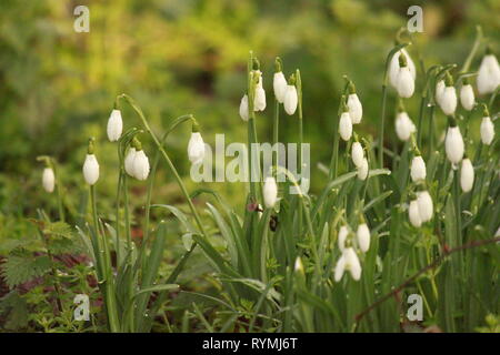 Snowdrops, glanthus, on a February day in Gloucestershire, uk. - Stock Image