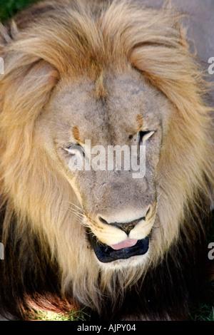 south africa outdshoorn game park lion - Stock Image