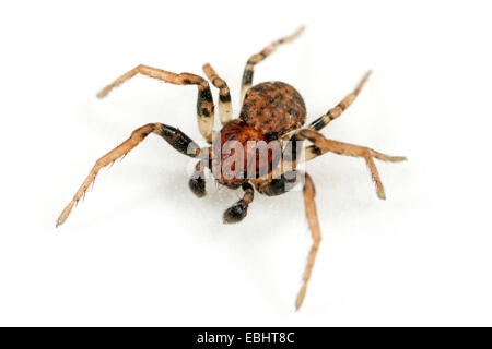 Male Ozyptila praticola spider on white background. Family Thomisidae, Crab spiders. - Stock Image