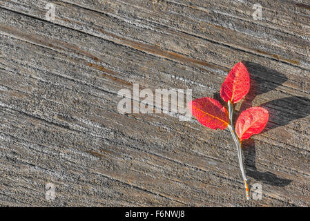 Red autumn colored blueberry shrub on wood - Stock Image