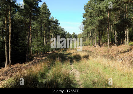 Forest track in Boltby Forest near Sneck Yate Bank, Boltby, Thirsk, North Yorkshire - Stock Image