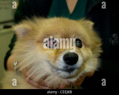 Pomeranian Dog with Corneal Ulcer - Stock Image