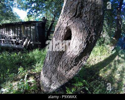 The nest of the Hoopoe in nature. Russia, the Ryazan region (Ryazanskaya oblast), the Pronsky District, Denisovo. - Stock Image